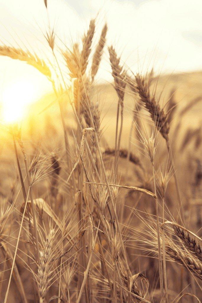 Buğday Özünün Gücü… Ruşeym